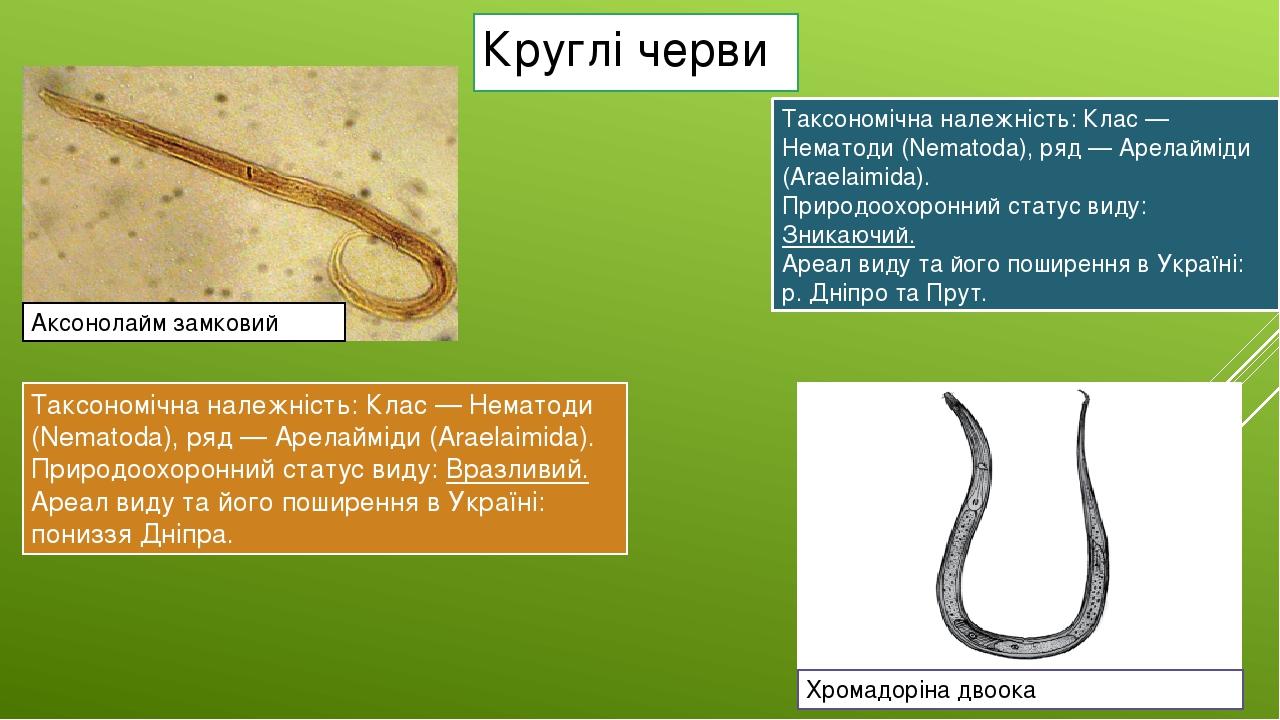 Круглі черви Таксономічна належність:Клас — Нематоди (Nematoda), ряд — Арелайміди (Araelaimida). Природоохоронний статус виду:Вразливий. Ареал ви...