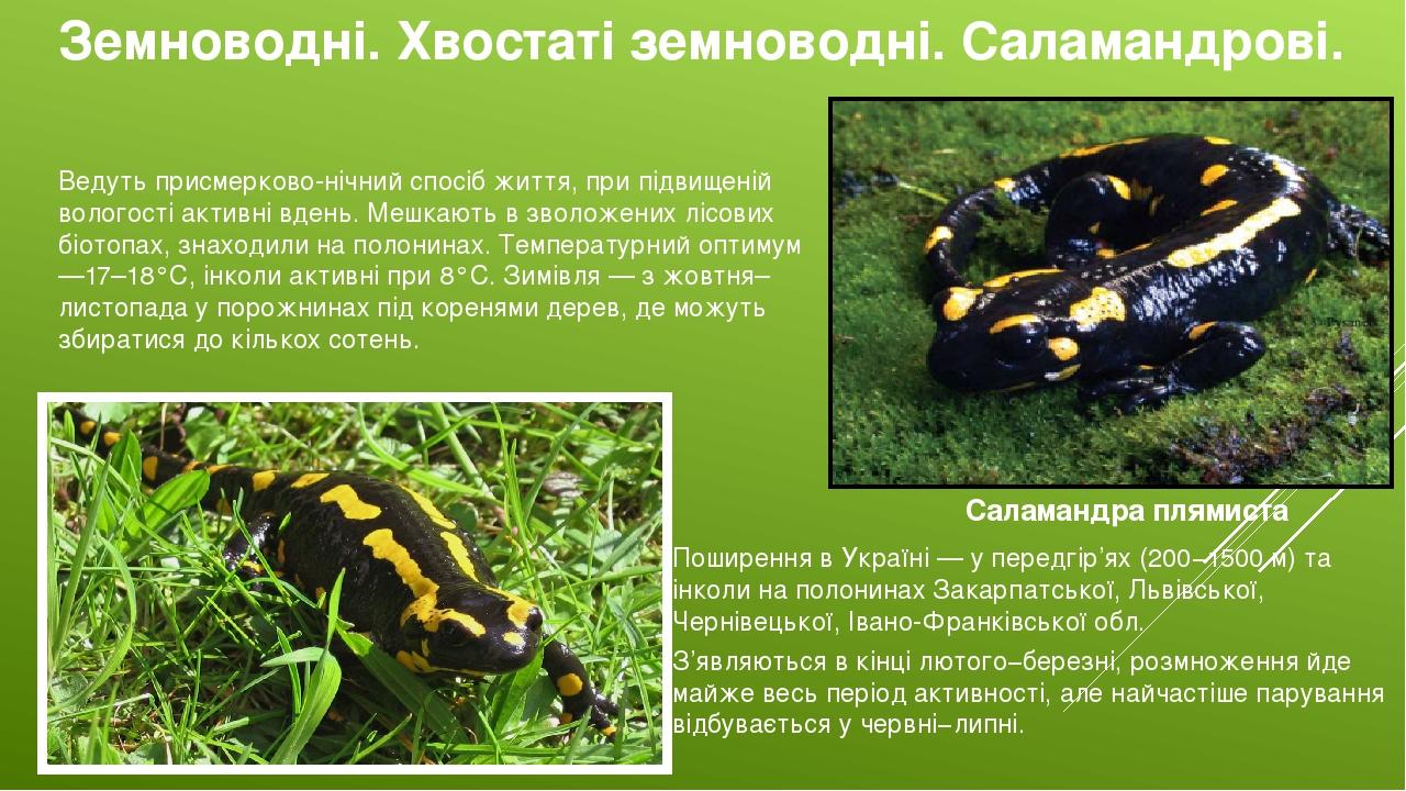 Земноводні. Хвостаті земноводні. Саламандрові. Саламандра плямиста Поширення в Україні — у передгір'ях (200−1500 м) та інколи на полонинах Закарпат...