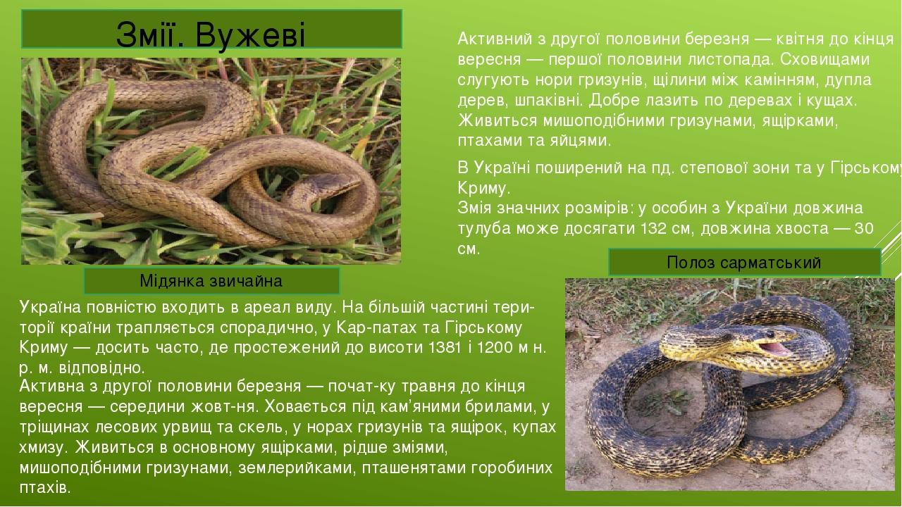 Змії. Вужеві Мідянка звичайна Україна повністю входить в ареал виду. На більшій частині тери-торії країни трапляється спорадично, у Кар-патах та Гі...