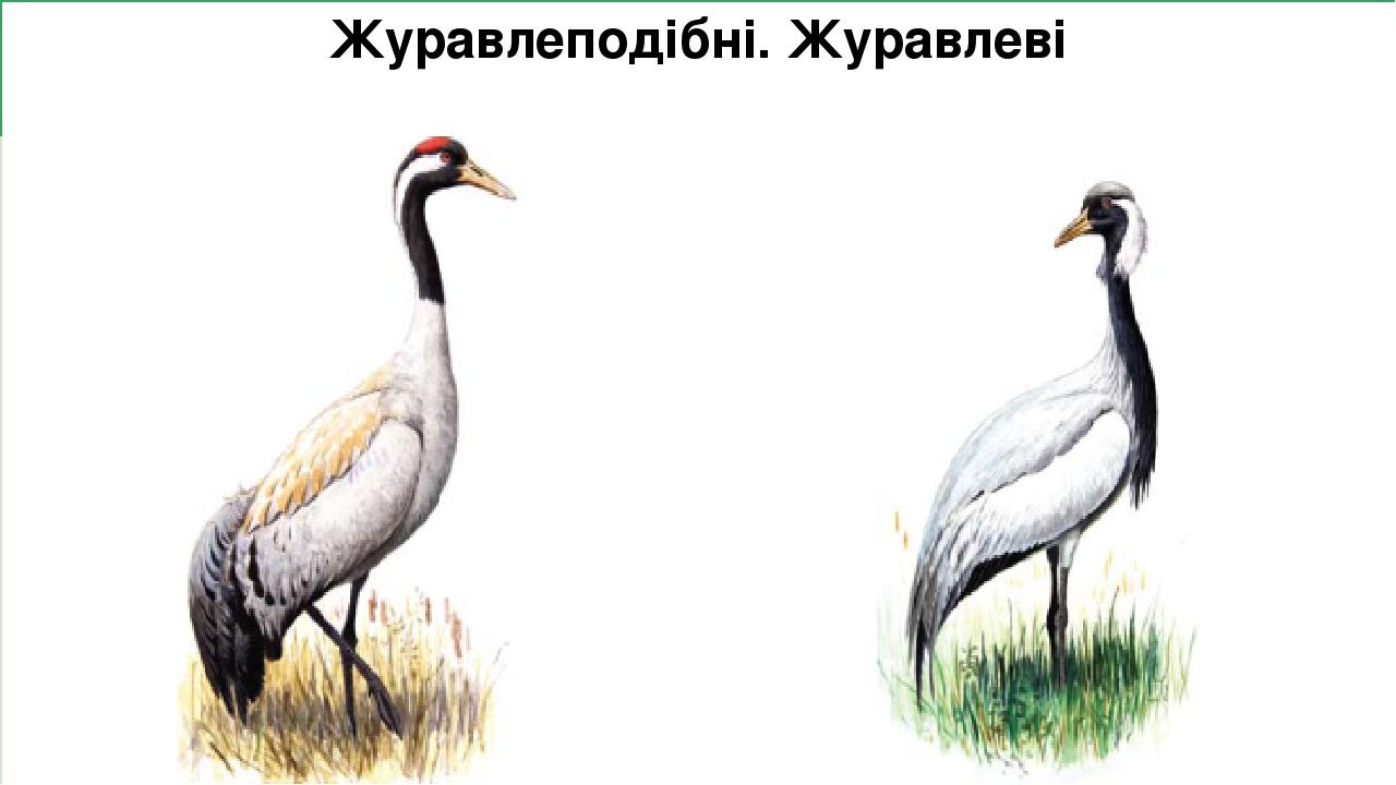 Журавлеподібні. Журавлеві Журавель сірий  В Україні гніздиться на Поліссі, у Лівобережному лісостепу і частково у Лівобережному степу, а також, мо...