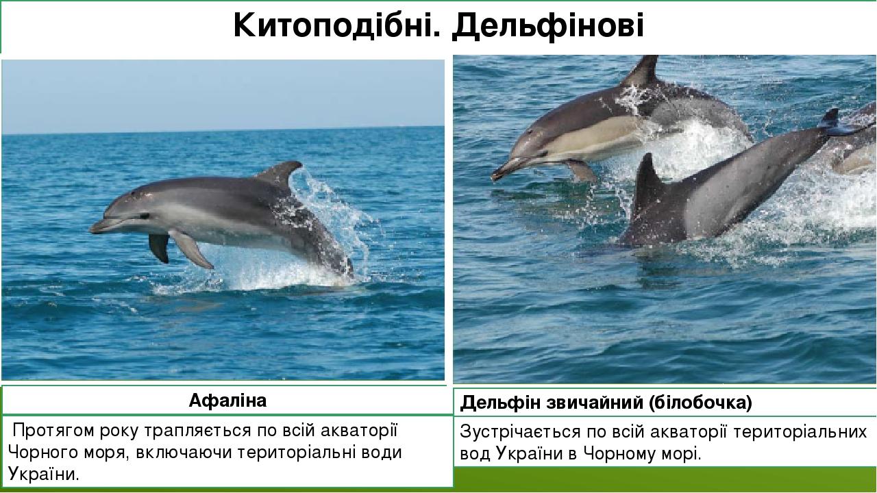 Китоподібні. Дельфінові Афаліна Протягом року трапляється по всій акваторії Чорного моря, включаючи територіальні води України. Зустрічається по в...