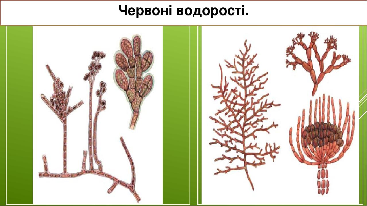 Червоні водорості. Родохортон пурпуровий Гельмінтора розчепірена