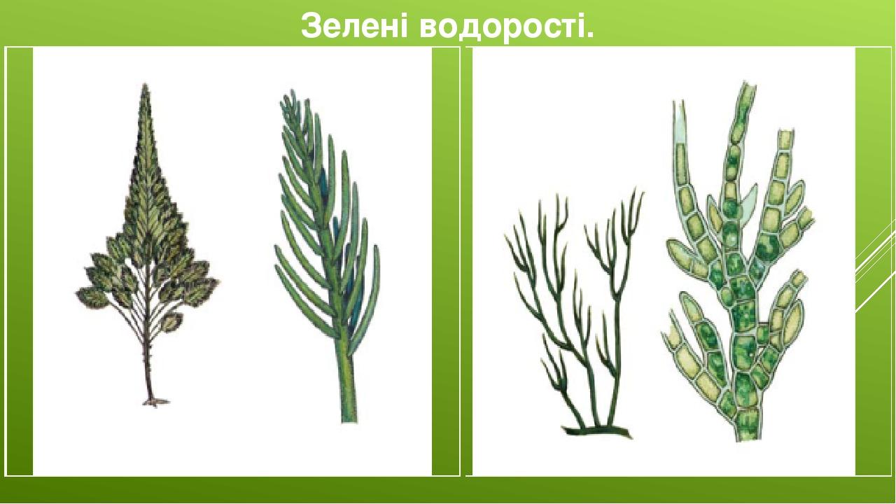 Зелені водорості. Бріопсіс адріатичний Стигеоклоніум пучкуватий