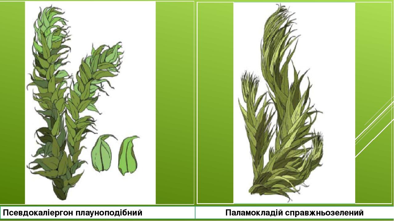 Псевдокаліергон плауноподібний Паламокладій справжньозелений