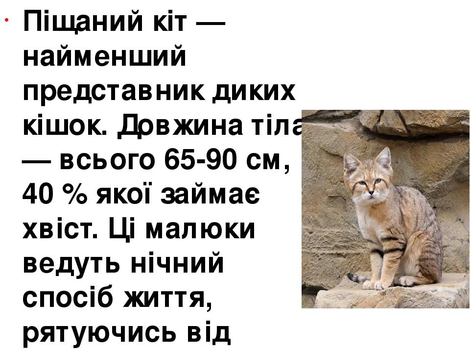Піщаний кіт— найменший представник диких кішок. Довжина тіла — всього 65-90 см, 40 % якої займає хвіст. Ці малюки ведуть нічний спосіб життя, ряту...