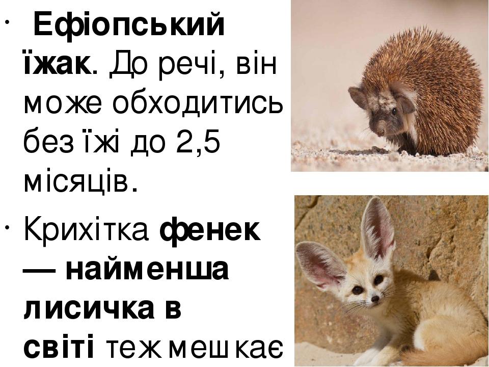 Ефіопський їжак. До речі, він може обходитись без їжі до 2,5 місяців. Крихіткафенек — найменша лисичка в світітеж мешкає в Сахарі.