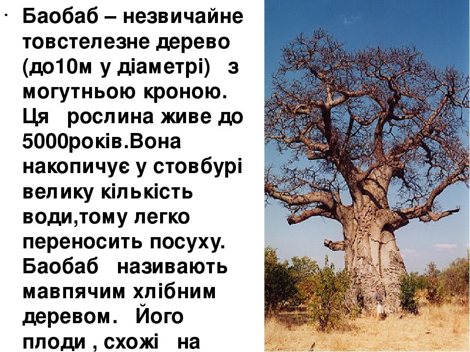 Баобаб – незвичайне товстелезне дерево (до10м у діаметрі) з могутньою кроною. Ця рослина живе до 5000років.Вона накопичує у стовбурі велику кількіс...