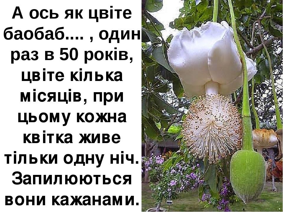 А ось як цвіте баобаб.... , один раз в 50 років, цвіте кілька місяців, при цьому кожна квітка живе тільки одну ніч. Запилюються вони кажанами.