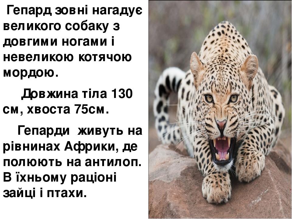 Гепард зовні нагадує великого собаку з довгими ногами і невеликою котячою мордою. Довжина тіла 130 см, хвоста 75см. Гепарди живуть на рівнинах Афри...