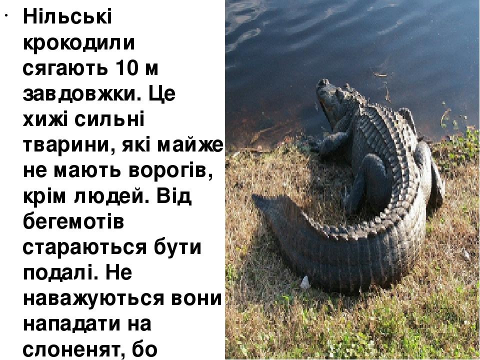 Нільські крокодили сягають 10 м завдовжки. Це хижі сильні тварини, які майже не мають ворогів, крім людей. Від бегемотів стараються бути подалі. Не...