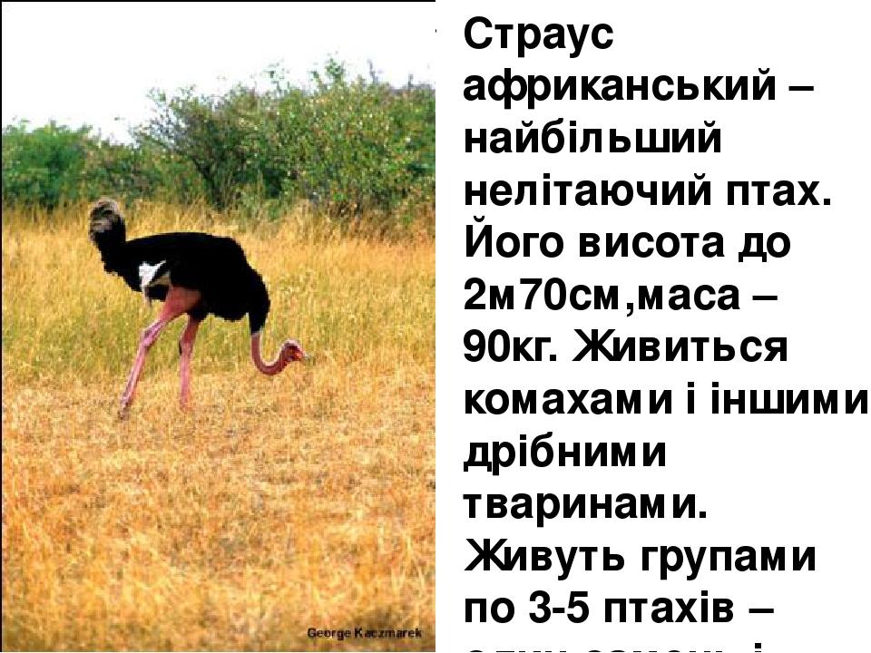 Страус африканський – найбільший нелітаючий птах. Його висота до 2м70см,маса – 90кг. Живиться комахами і іншими дрібними тваринами. Живуть групами ...