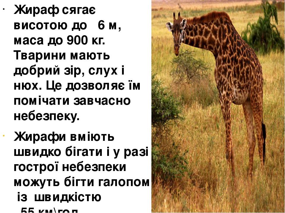 Жираф сягає висотою до 6 м, маса до 900 кг. Тварини мають добрий зір, слух і нюх. Це дозволяє їм помічати завчасно небезпеку. Жирафи вміють швидко ...