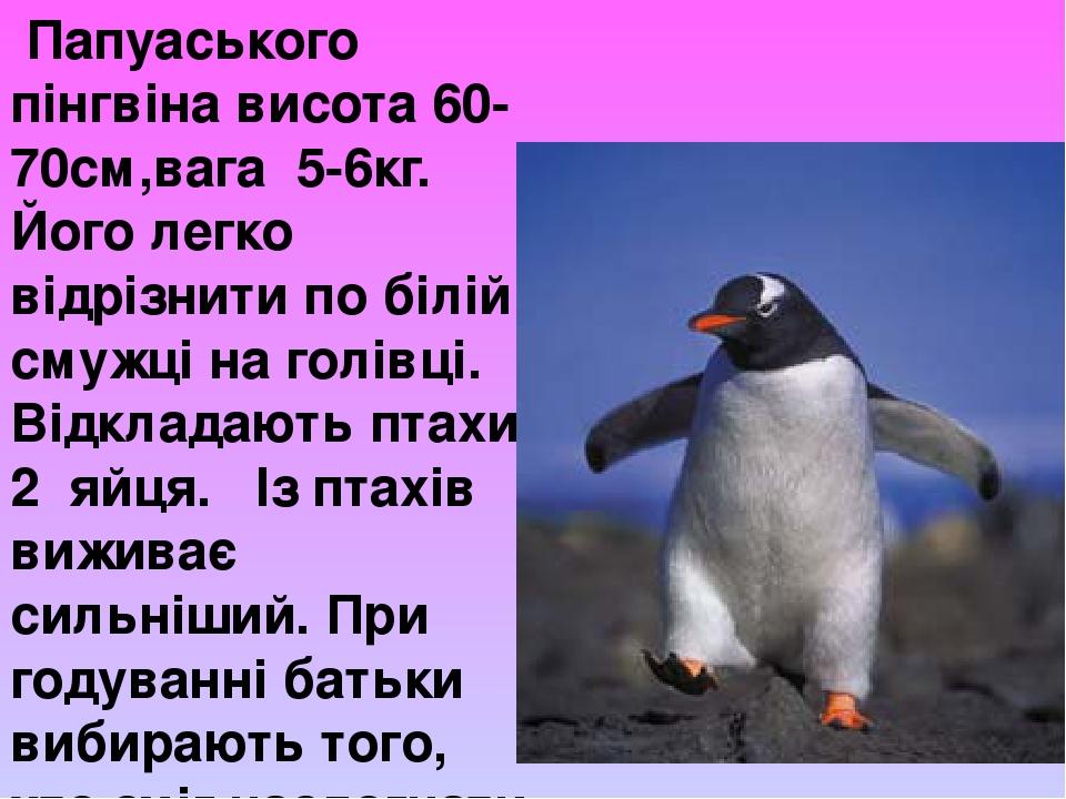 Папуаського пінгвіна висота 60-70см,вага 5-6кг. Його легко відрізнити по білій смужці на голівці. Відкладають птахи 2 яйця. Із птахів виживає сильн...
