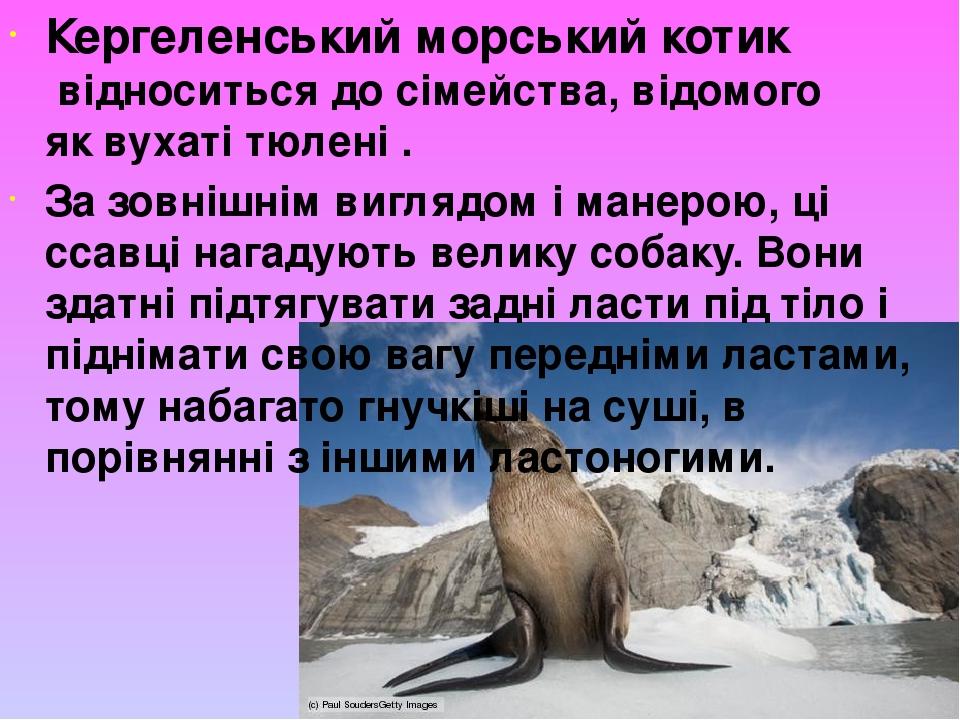 Кергеленський морський котик відноситься до сімейства, відомого яквухаті тюлені. За зовнішнім виглядом і манерою, ці ссавці нагадують велику соб...
