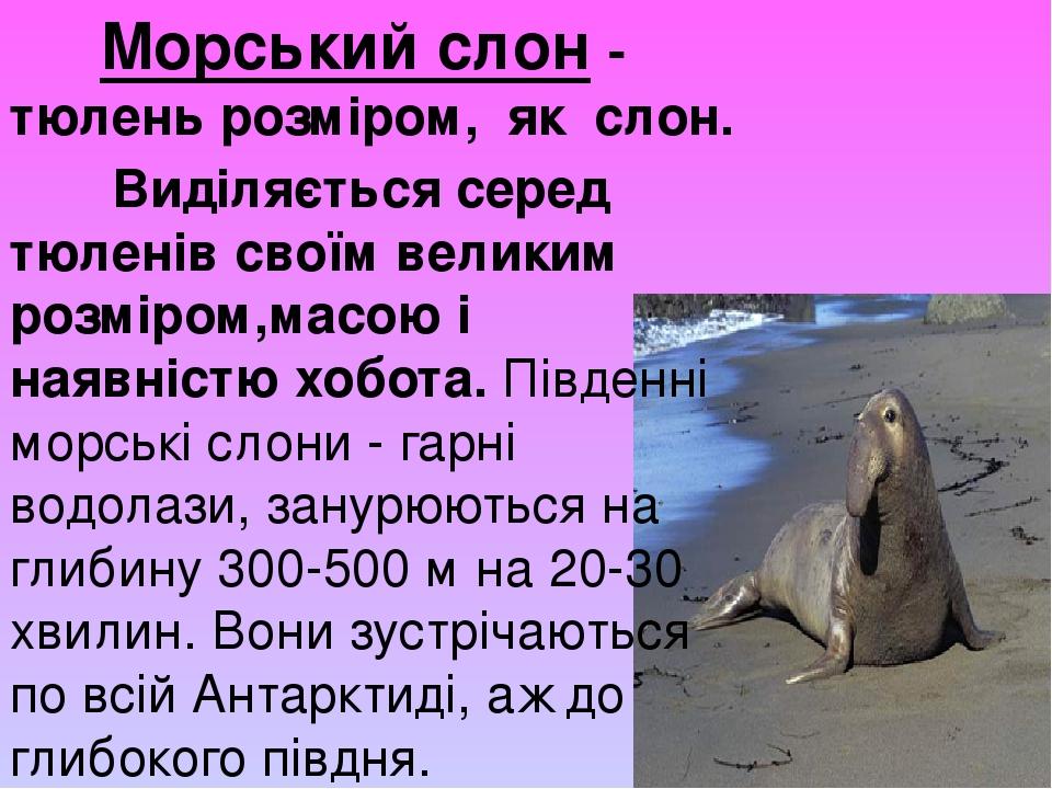 Морський слон - тюлень розміром, як слон. Виділяється серед тюленів своїм великим розміром,масою і наявністю хобота. Південні морські слони - гарні...