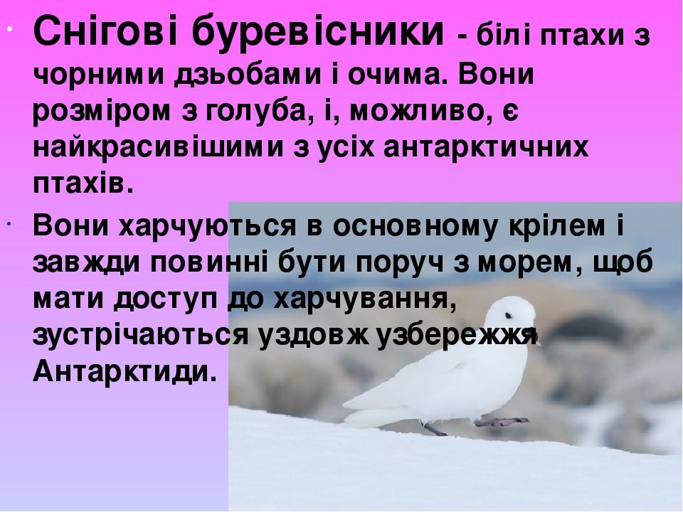 Снігові буревісники - білі птахи з чорними дзьобами і очима. Вони розміром з голуба, і, можливо,є найкрасивішими з усіх антарктичних птахів. Вони ...
