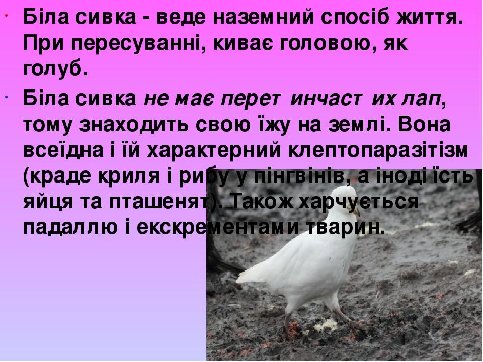 Біла сивка - веденаземний спосіб життя. При пересуванні, киває головою, як голуб. Біла сивкане має перетинчастих лап, тому знаходить свою їжу на ...