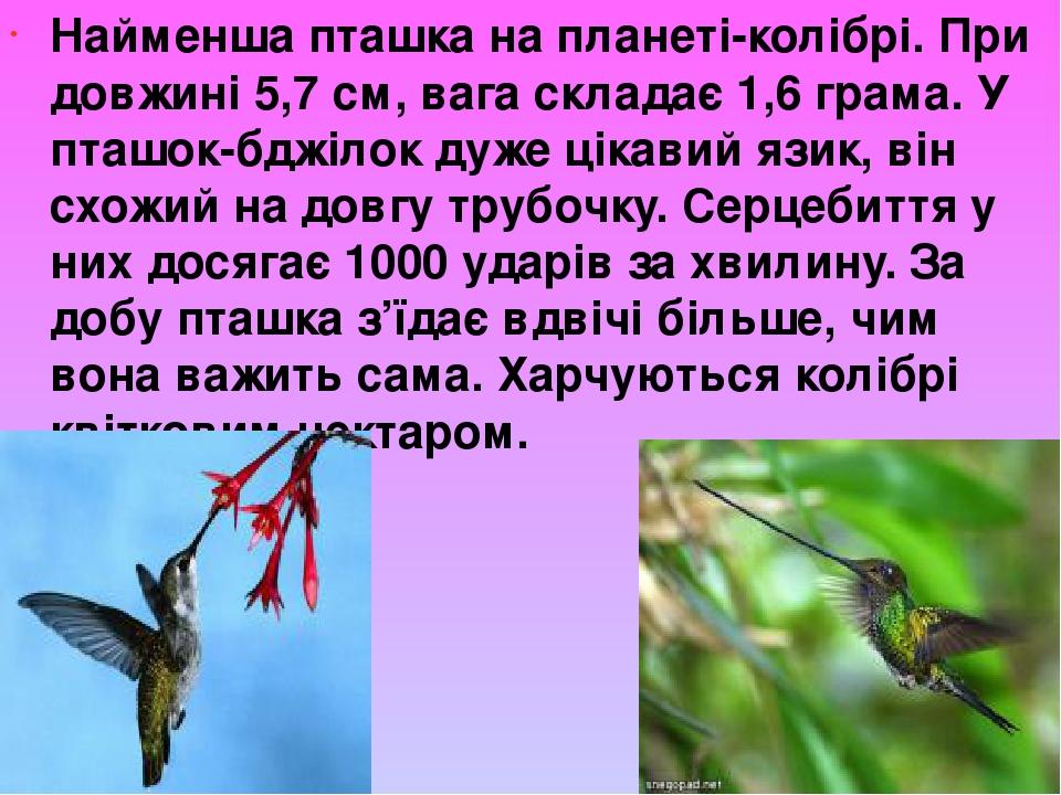 Найменша пташка на планеті-колібрі. При довжині 5,7 см, вага складає 1,6 грама. У пташок-бджілок дуже цікавий язик, він схожий на довгу трубочку. С...