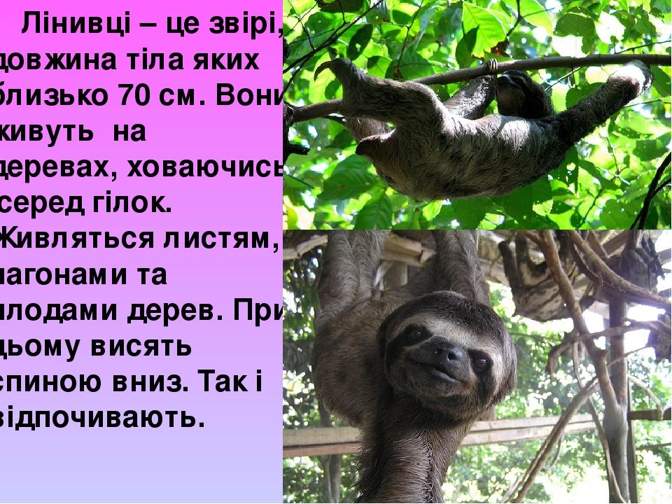 Лінивці – це звірі, довжина тіла яких близько 70 см. Вони живуть на деревах, ховаючись серед гілок. Живляться листям, пагонами та плодами дерев. Пр...