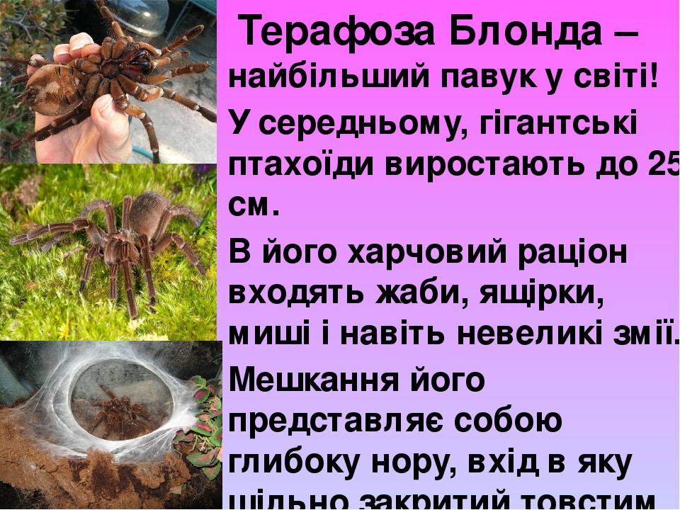 Терафоза Блонда – найбільший павук у світі! У середньому, гігантські птахоїди виростають до 25 см. В його харчовий раціон входять жаби, ящірки, ми...
