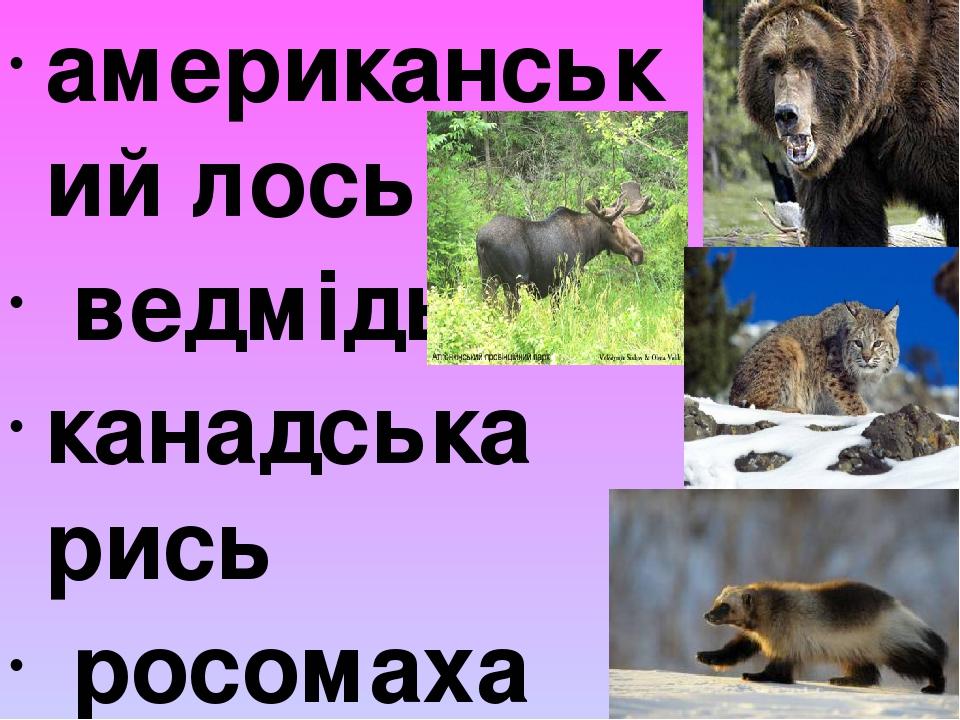 американський лось ведмідь канадська рись росомаха