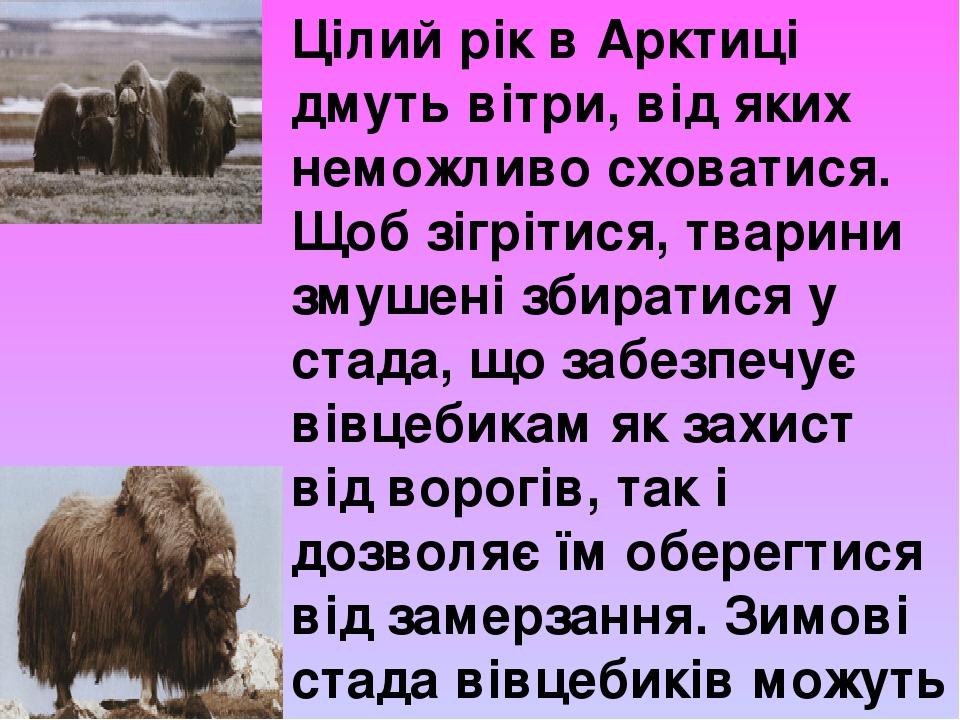 Цілий рік в Арктиці дмуть вітри, від яких неможливо сховатися. Щоб зігрітися, тварини змушені збиратися у стада, що забезпечує вівцебикам як захист...