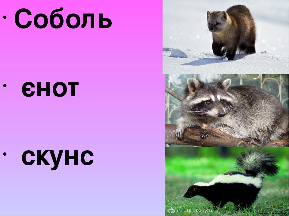 Соболь єнот скунс