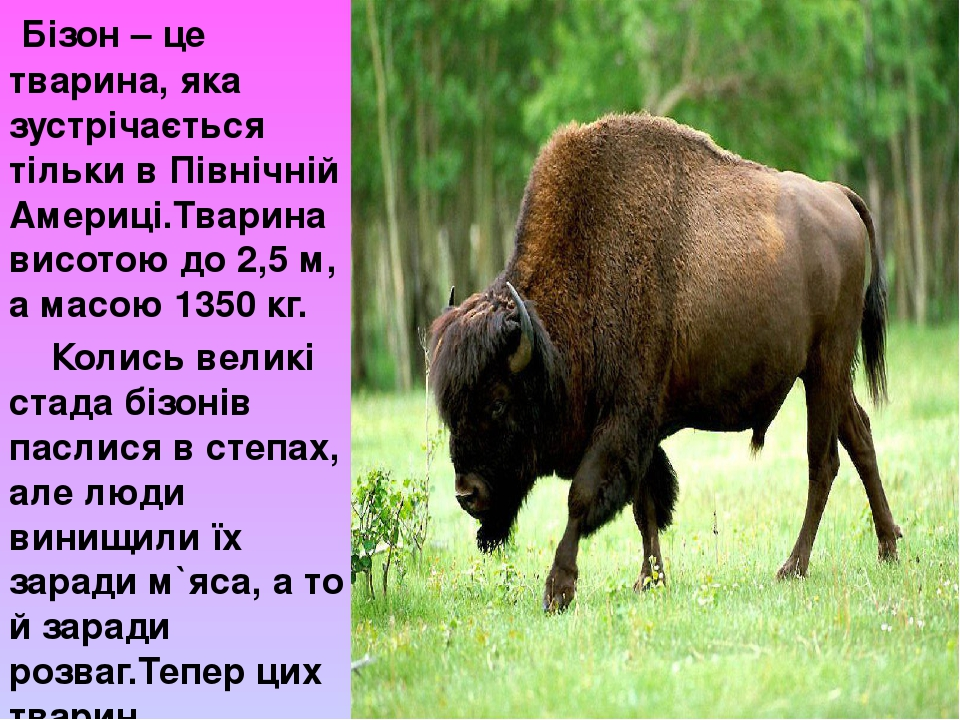 Бізон – це тварина, яка зустрічається тільки в Північній Америці.Тварина висотою до 2,5 м, а масою 1350 кг. Колись великі стада бізонів паслися в с...