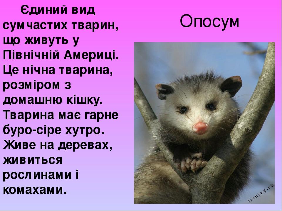 Опосум Єдиний вид сумчастих тварин, що живуть у Північній Америці. Це нічна тварина, розміром з домашню кішку. Тварина має гарне буро-сіре хутро. Ж...
