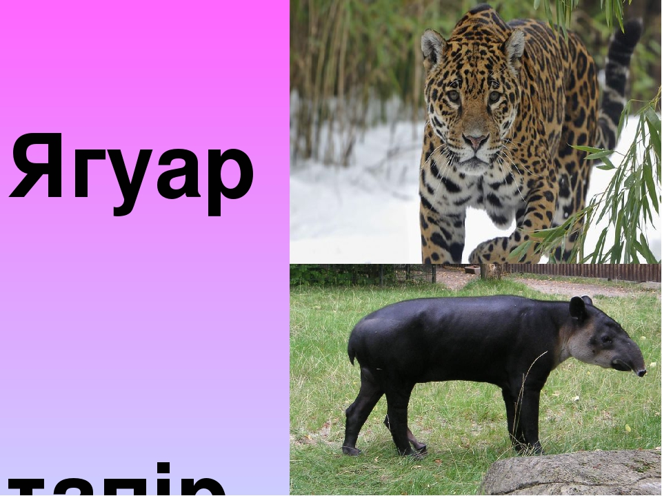 Ягуар тапір
