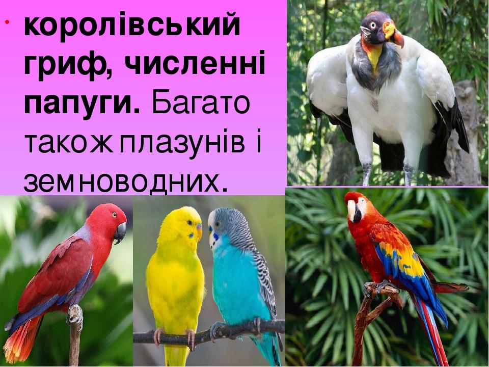 королівський гриф, численні папуги. Багато також плазунів і земноводних.