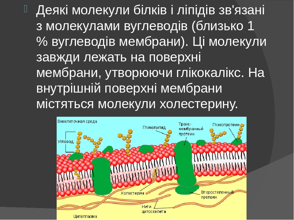 Деякі молекули білків і ліпідів зв'язані з молекулами вуглеводів (близько 1 % вуглеводів мембрани). Ці молекули завжди лежать на поверхні мембрани,...