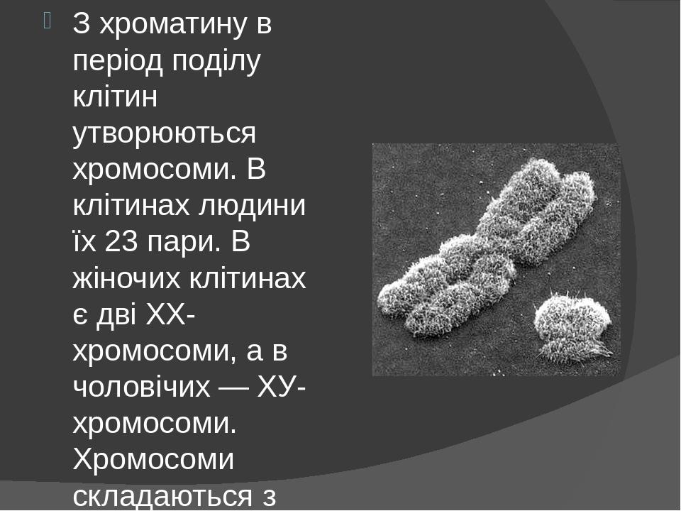 З хроматину в період поділу клітин утворюються хромосоми. В клітинах людини їх 23 пари. В жіночих клітинах є дві ХХ-хромосоми, а в чоловічих — ХУ-х...