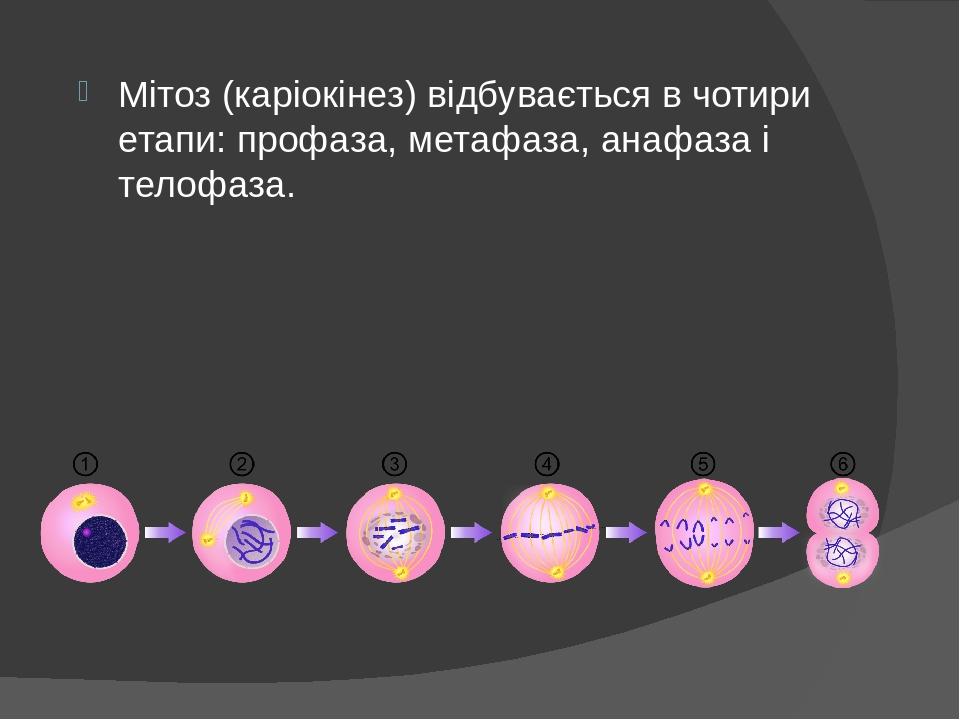 Мітоз (каріокінез) відбувається в чотири етапи: профаза, метафаза, анафаза і телофаза.