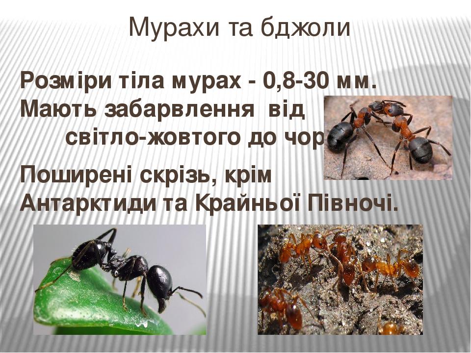 Мурахи та бджоли Розміри тіла мурах - 0,8-30 мм. Мають забарвлення від світло-жовтого до чорного. Поширені скрізь, крім Антарктиди та Крайньої Півн...