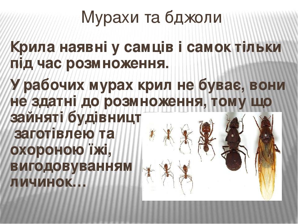 Крила наявні у самців і самок тільки під час розмноження. У рабочих мурах крил не буває, вони не здатні до розмноження, тому що зайняті будівництво...