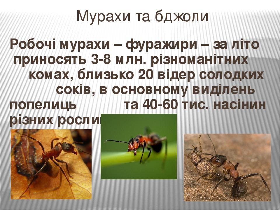 Робочі мурахи – фуражири – за літо приносять 3-8 млн. різноманітних комах, близько 20 відер солодких соків, в основному виділень попелиць та 40-60 ...