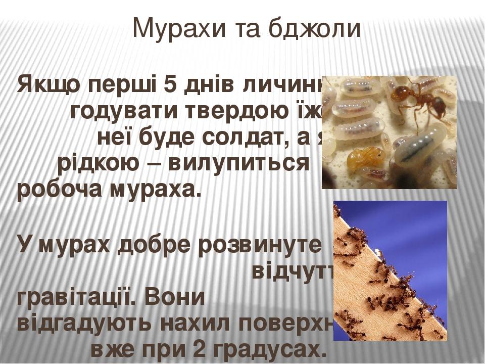 Якщо перші 5 днів личинку годувати твердою їжею, з неї буде солдат, а якщо рідкою – вилупиться робоча мураха. У мурах добре розвинуте відчуття грав...