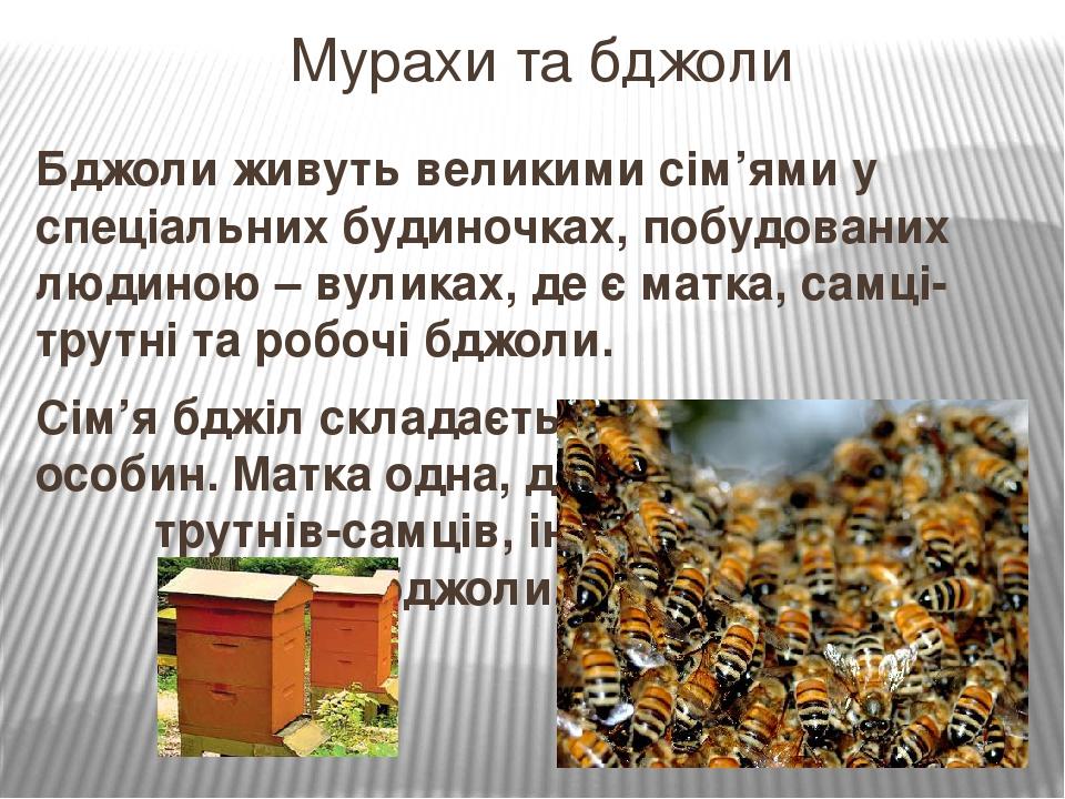 Бджоли живуть великими сім'ями у спеціальних будиночках, побудованих людиною – вуликах, де є матка, самці-трутні та робочі бджоли. Сім'я бджіл скла...