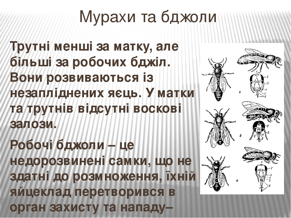 Трутні менші за матку, але більші за робочих бджіл. Вони розвиваються із незапліднених яєць. У матки та трутнів відсутні воскові залози. Робочі бдж...