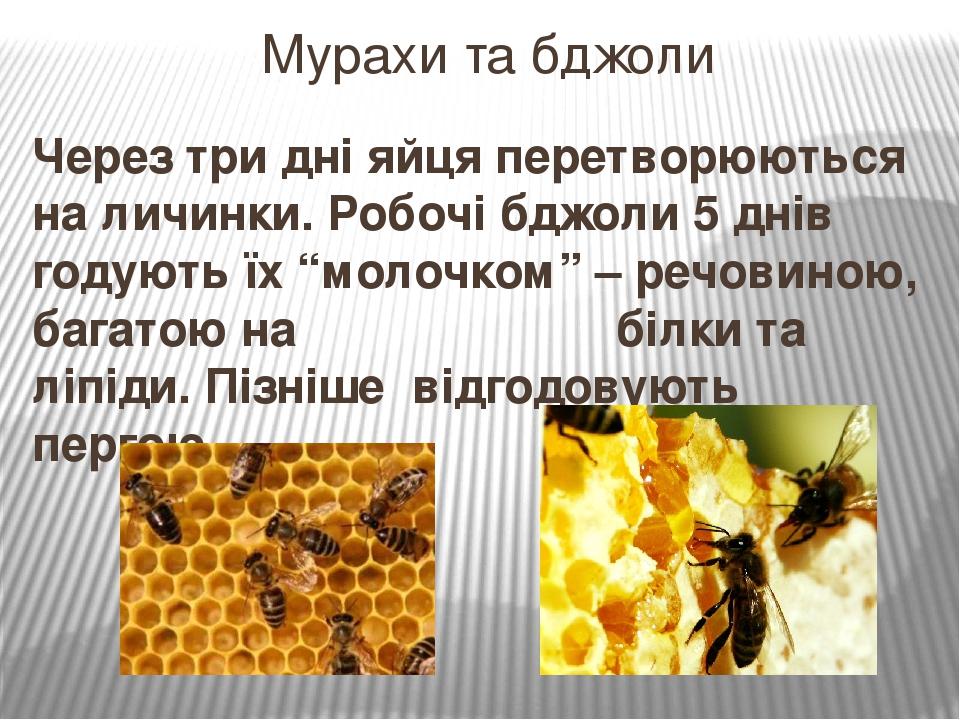 """Через три дні яйця перетворюються на личинки. Робочі бджоли 5 днів годують їх """"молочком"""" – речовиною, багатою на білки та ліпіди. Пізніше відгодову..."""