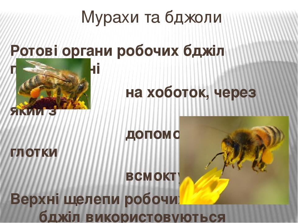Ротові органи робочих бджіл перетворені на хоботок, через який з допомогою м'язів глотки всмоктується нектар. Верхні щелепи робочих бджіл використо...