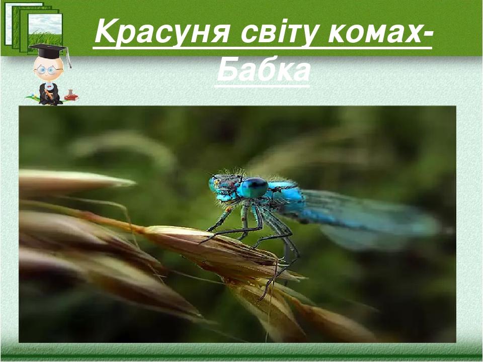 Красуня світу комах- Бабка
