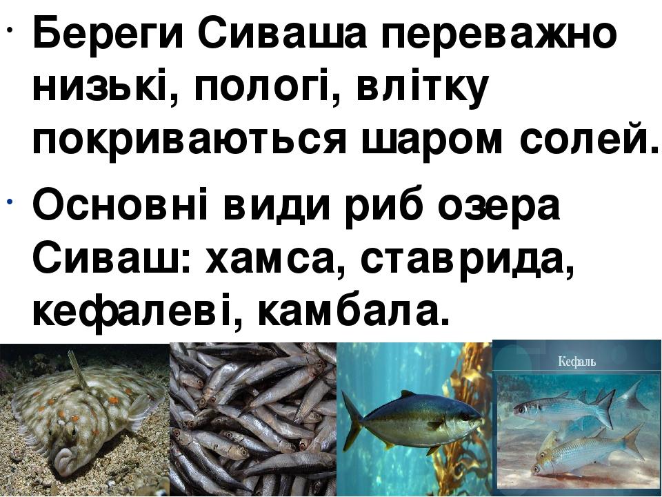 Береги Сиваша переважно низькі, пологі, влітку покриваються шаром солей. Основні види риб озера Сиваш:хамса, ставрида, кефалеві, камбала.
