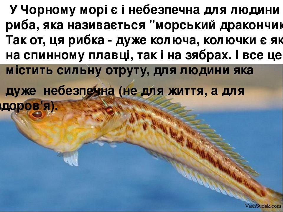 """У Чорному морі є і небезпечна для людини риба, яка називається """"морський дракончик"""". Так от, ця рибка - дуже колюча, колючки є як на спинному плав..."""