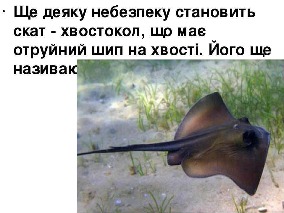 Ще деяку небезпеку становить скат - хвостокол, що має отруйний шип на хвості. Його ще називають рибою - котом .