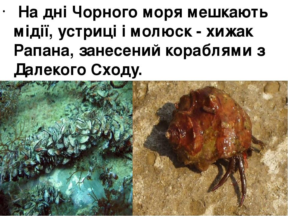 На дні Чорного моря мешкають мідії, устриці і молюск - хижак Рапана, занесений кораблями з Далекого Сходу.