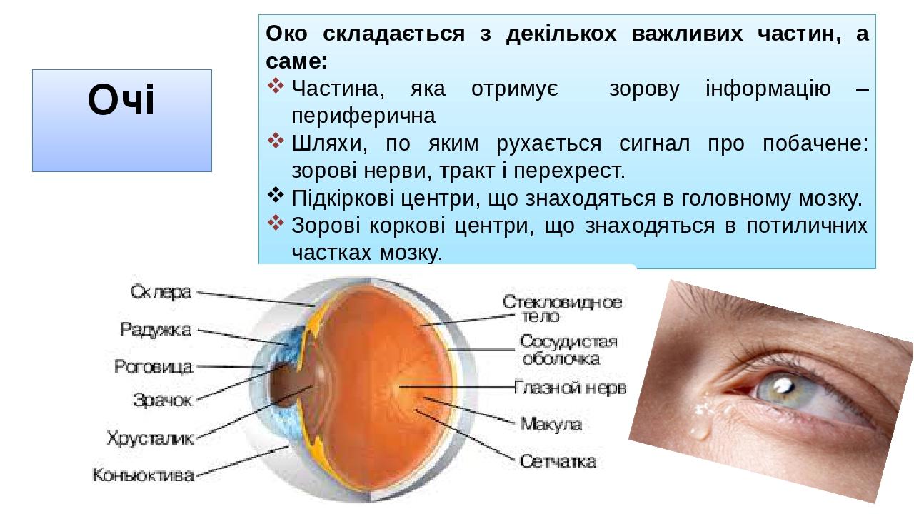 Очі Око складається з декількох важливих частин, а саме: Частина, яка отримує зорову інформацію – периферична Шляхи, по яким рухається сигнал про п...