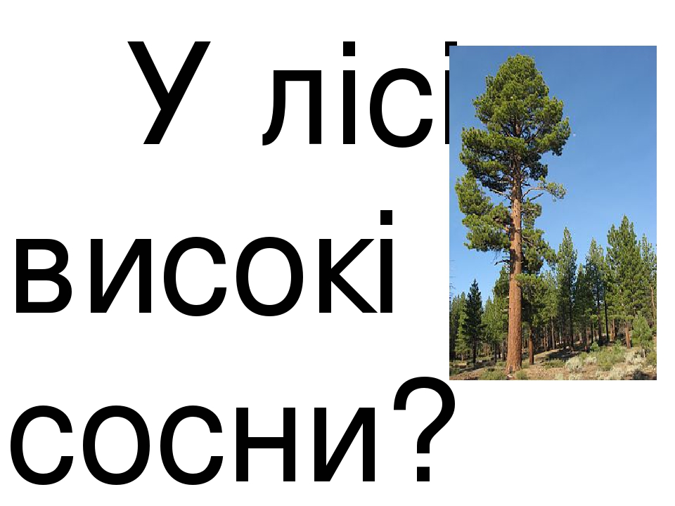 У лісі високі сосни?