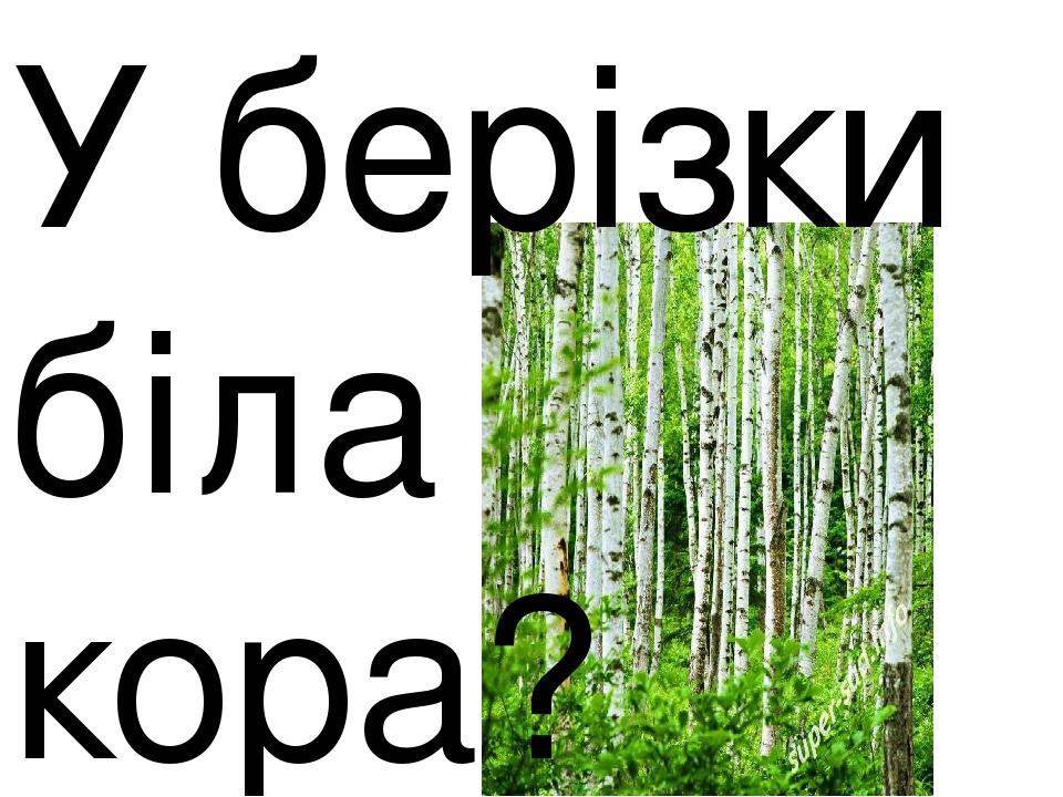 У берізки біла кора?
